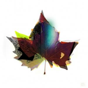 Plane Leaf,